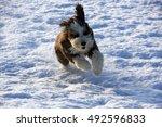 Bearded Collie Dog Running