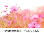blurred of cosmos flowers with  ... | Shutterstock . vector #492737527