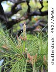 Small photo of Flowers of the Pinus thunbergii, the Japanese black pine tree in Kyoto, Japan