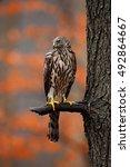 Small photo of Goshawk, Accipiter gentilis, bird of prey sitting oh the branch in autumn forest in background