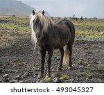 Hardy Palomino Icelandic Horse...