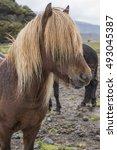 Hardy Icelandic Horse  Or Pony...