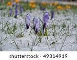 Spring Flowers covered in snow - stock photo