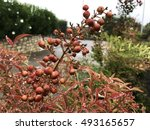 Plant Red Berries Wet From Rain