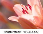 Zephyranthes Lily Flower....