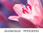zephyranthes lily flower....   Shutterstock . vector #493316533