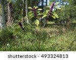 Small photo of photo of an American Beautyberry (Callicarpa americana) taken in the garden in Orlando, Florida, USA