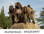 gelada baboon.  theropithecus... | Shutterstock . vector #493353997