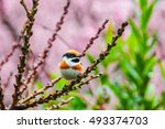 Small photo of Red-headed Tit (Aegithalos Concinnus) with Pink Sakura in the Background at Wuling Farm, Taichung, Taiwan