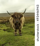Shaggy Highland Cow   Highland...