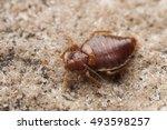 bed bug | Shutterstock . vector #493598257