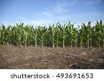 young corn plants in a... | Shutterstock . vector #493691653