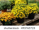 fall potted mums on a... | Shutterstock . vector #493765723