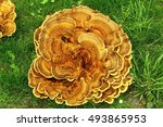 Giant Polypore Fungus  Mushroo...
