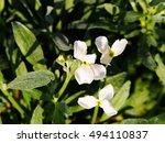Small photo of Matthiola incana - hoary stock