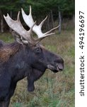 Small photo of Bull Moose (Alces alces) walking through the forest