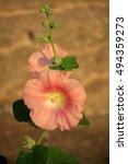 Small photo of Rose Hollyhock flower (Alcea rosea)