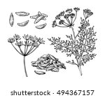 caraway vector hand drawn... | Shutterstock .eps vector #494367157