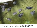 Small Turtles In A Swimming...