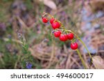 Red Berries Of Lily Of The...