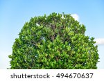 Green Shrub Of Banyan Tree Or...