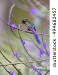Small photo of Long tailed hummingbird, Violet-tailed Sylph, Aglaiocercus coelestis, feeding on nectar rich flower, Purple Porterweed. Vertical photo, vivid purple and violet colors. Montezuma forest area, Colombia.
