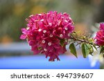 Bouganvilla Flower In Spring ...