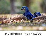 hyacinth macaw on a ground in... | Shutterstock . vector #494741803