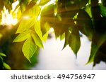 Green Spring Tree Leaves In...