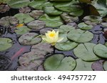 A Yellow Water Lily Surrounded...