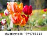 Summer Orange Tulips On The...