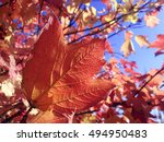 Small photo of Red calina leaf at the blue sky background