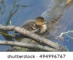 Small photo of American Black Duck (juvenile)