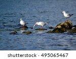 Seagull On The Rhine  Seagull...