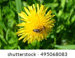 Dandelion With Bee  Dandelion