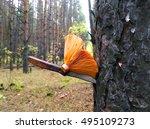 Saffron Mushroom In A Pine...