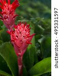 Small photo of Silver vase plant's red flower blooming(Aechmea fasciata)