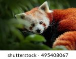 beautiful red panda lying on... | Shutterstock . vector #495408067