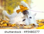 Dog Lies Between Yellow Leaves...