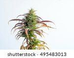 branch of cannabis plant with... | Shutterstock . vector #495483013