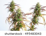 branch of cannabis plant with... | Shutterstock . vector #495483043