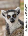 ring tailed lemur | Shutterstock . vector #49561807