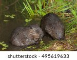 closeup beavers sit in the... | Shutterstock . vector #495619633