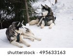 Two Dogs Husky Sitting On A...