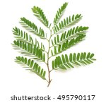 fresh tamarind leaf isolated on ... | Shutterstock . vector #495790117