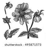 wild dahlia flower blossom.... | Shutterstock . vector #495871573