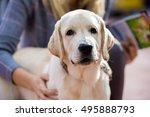 labrador dog's head on