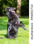 Small photo of Beautiful groenendael dog puppy running in spring nature. Black Belgian shepherd agility training outdoors.