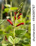 Small photo of Salvia viridis, annual clary, orval in bloom