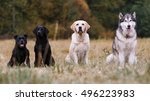 various breeds of dogs sitting... | Shutterstock . vector #496223983
